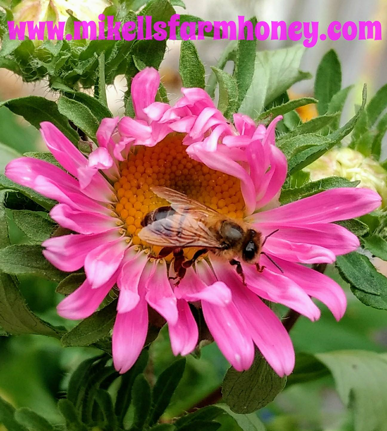 PIC OF BEE ON FLOWER.USE.MFH BNBS