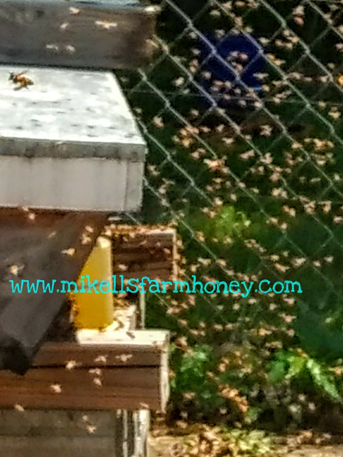 PIC OF SWARM IN ACTION.MFH BNBS